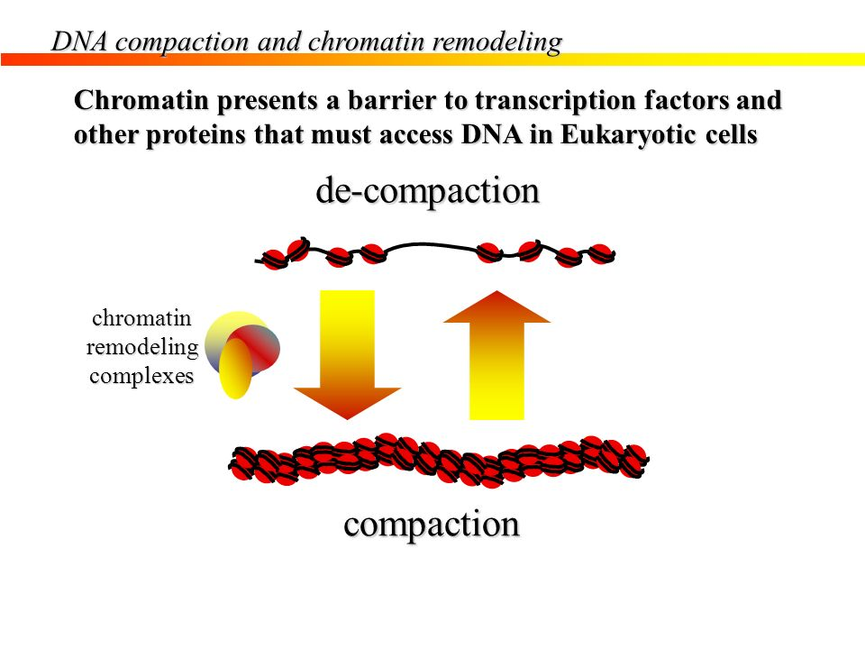 de-compaction compaction Cellular activities on chromatin