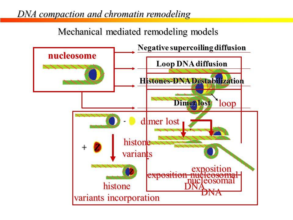 Negative supercoiling diffusion Histones-DNA Destabilization