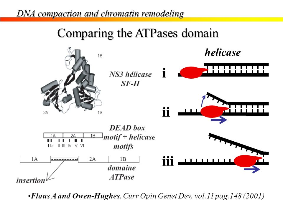 i ii iii Comparing the ATPases domain helicase