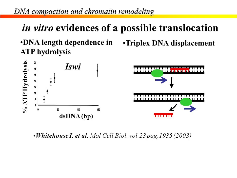 in vitro evidences of a possible translocation
