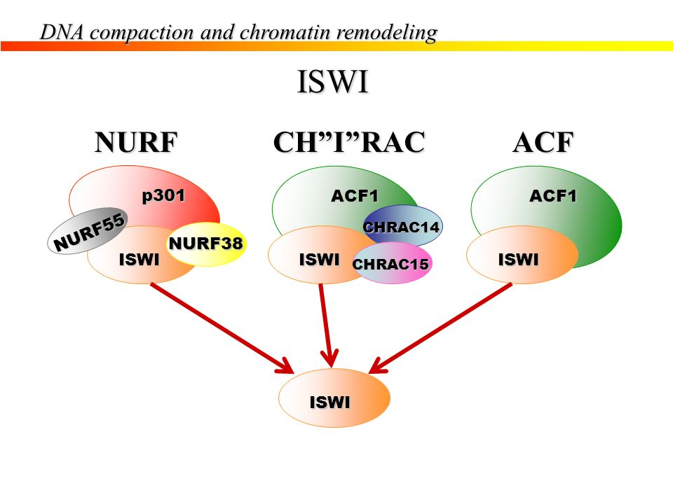 ISWI NURF CH I RAC ACF DNA compaction and chromatin remodeling p301