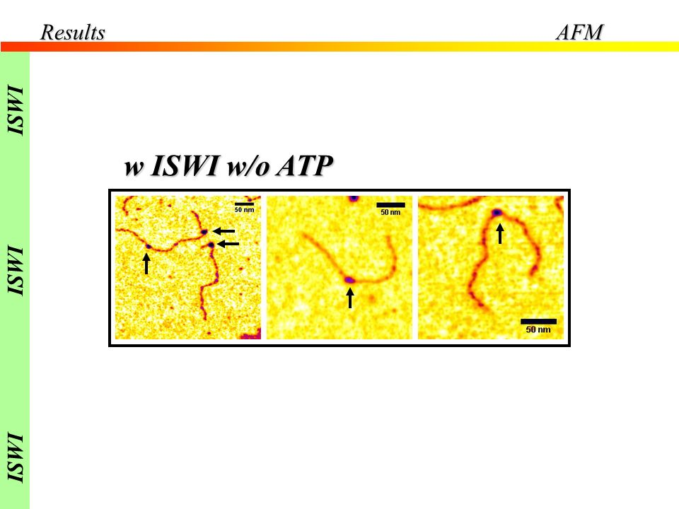 Results AFM ISWI w ISWI w/o ATP