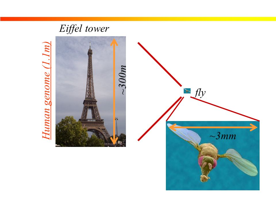 Eiffel tower ~300m Human genome (1.1m) fly ~3mm