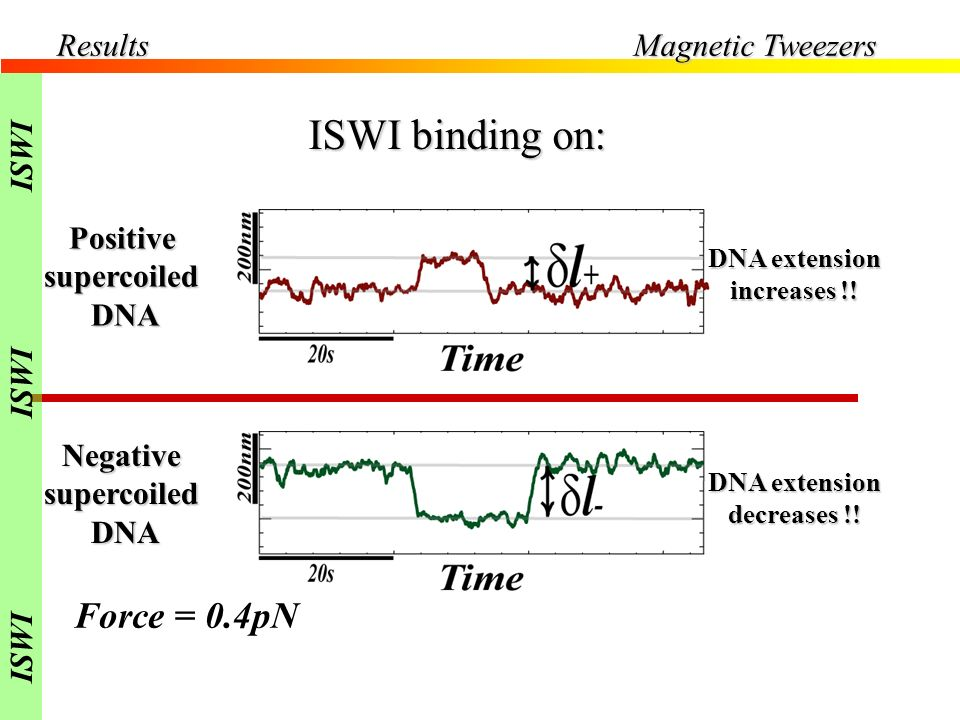 ISWI binding on: Force = 0.4pN Results Magnetic Tweezers ISWI Positive