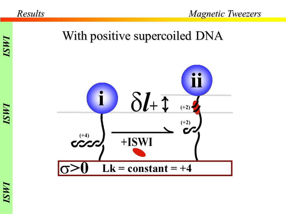 Results Magnetic Tweezers ISWI With positive supercoiled DNA i ii