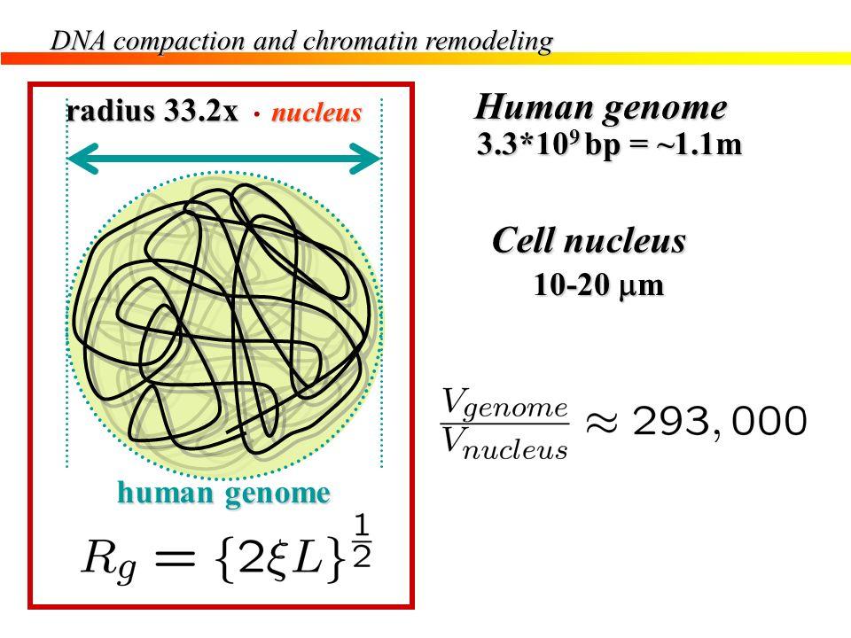 Human genome Cell nucleus radius 33.2x 3.3*109 bp = ~1.1m 10-20 mm