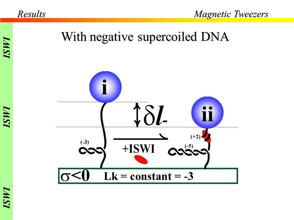Results Magnetic Tweezers ISWI With negative supercoiled DNA i ii