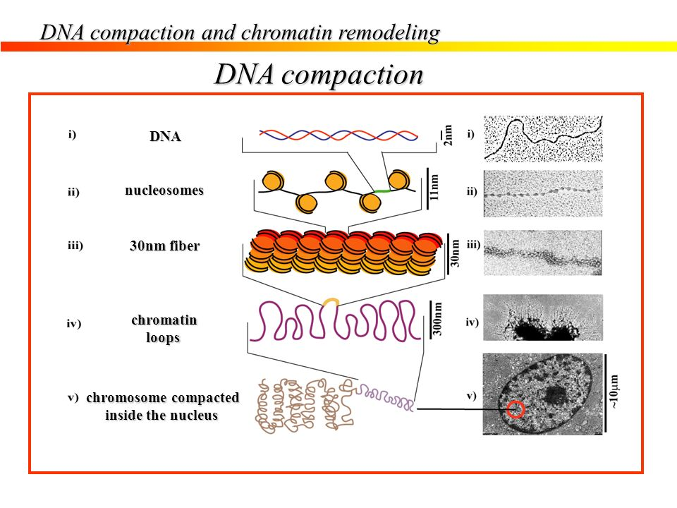 DNA compaction DNA compaction and chromatin remodeling DNA nucleosomes