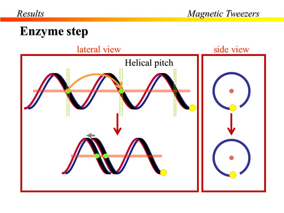 Enzyme step Results Magnetic Tweezers lateral view side view