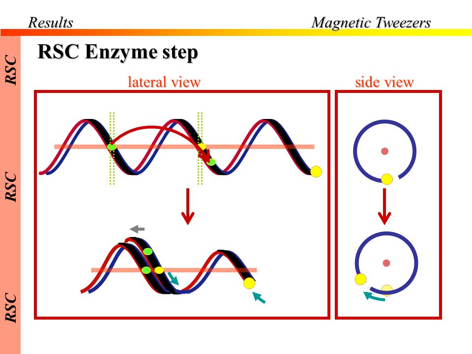 Results Magnetic Tweezers RSC RSC Enzyme step lateral view side view