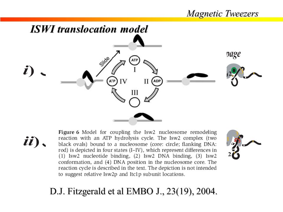 ISWI translocation model