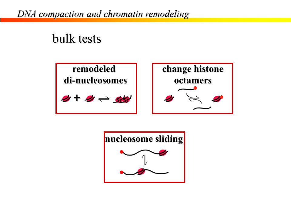 bulk tests + DNA compaction and chromatin remodeling remodeled