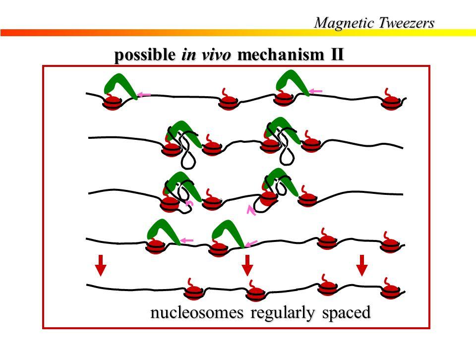 possible in vivo mechanism II