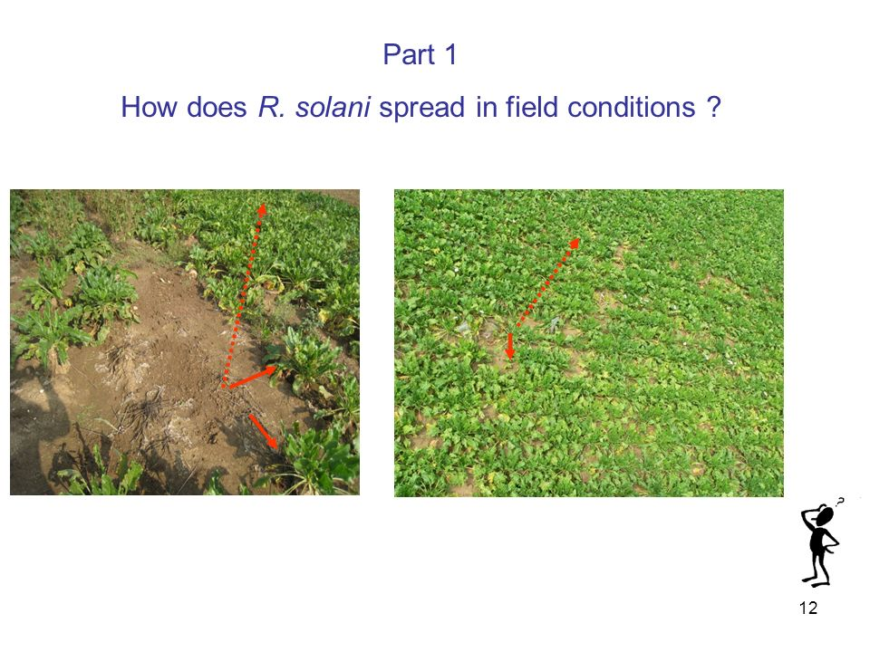 How does R. solani spread in field conditions