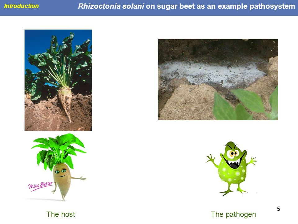 Rhizoctonia solani on sugar beet as an example pathosystem