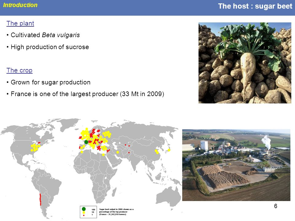 The host : sugar beet The plant Cultivated Beta vulgaris