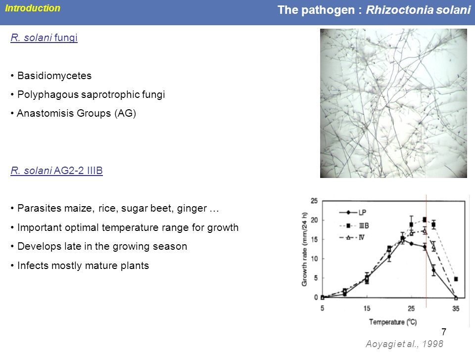 The pathogen : Rhizoctonia solani
