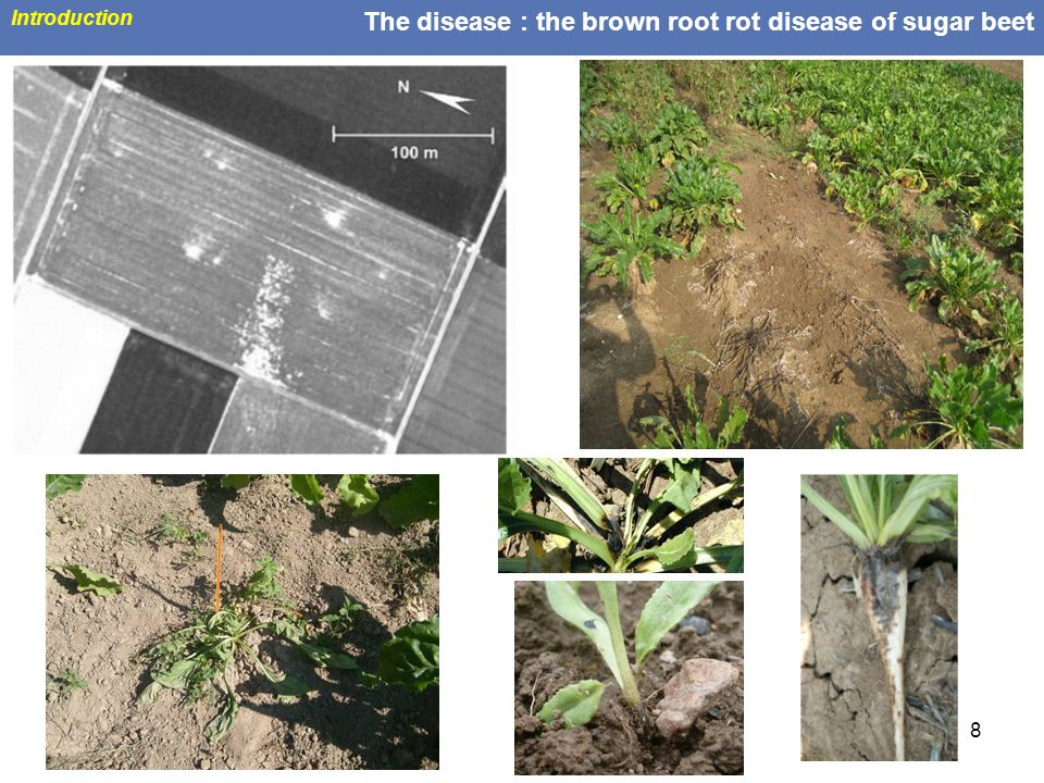 The disease : the brown root rot disease of sugar beet