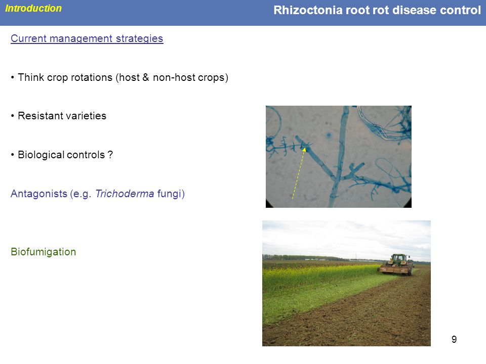 Rhizoctonia root rot disease control