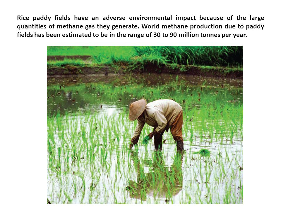 Rice paddy fields have an adverse environmental impact because of the large quantities of methane gas they generate.