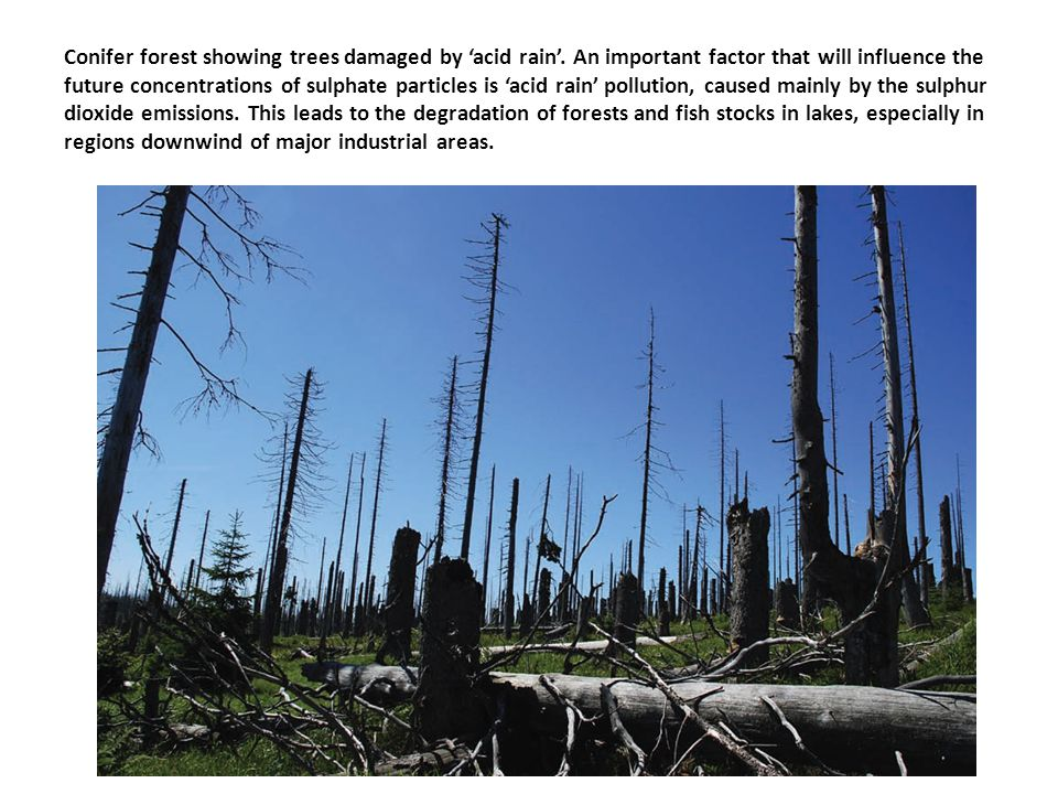 Conifer forest showing trees damaged by 'acid rain'