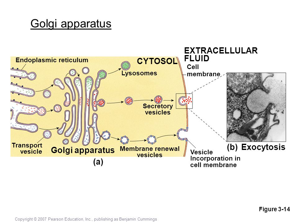 Cell Structure & Function - ppt video online download  Cell Structure ...