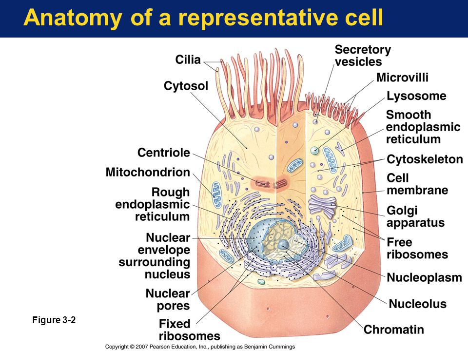 Unique Anatomy Cell Structure Gift Anatomy And Physiology Biology
