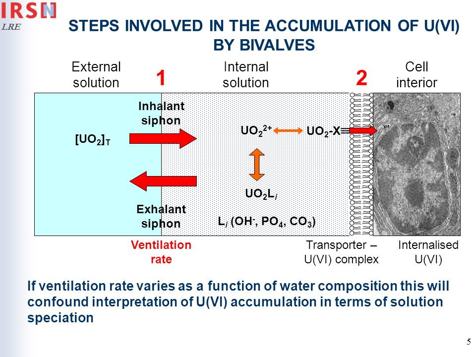 STEPS INVOLVED IN THE ACCUMULATION OF U(VI) BY BIVALVES