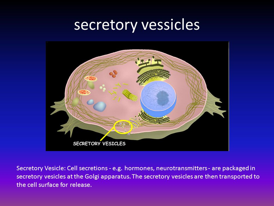 Vesicle animal cell function - photo#31