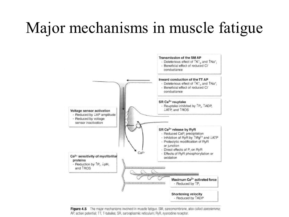 Human Muscle Fatigue Physiological Mechanisms ...
