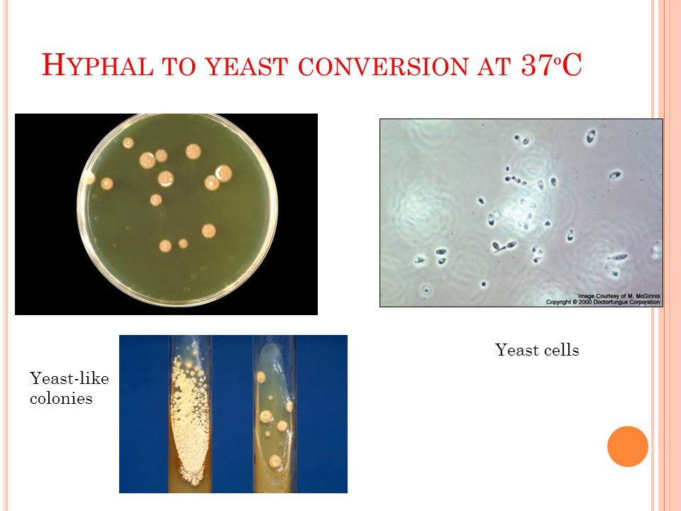 Hyphal to yeast conversion at 37ºC