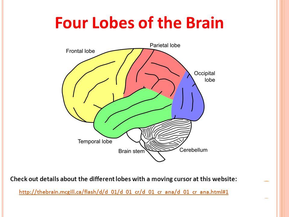 lobes of the brain worksheet the best and most comprehensive worksheets. Black Bedroom Furniture Sets. Home Design Ideas