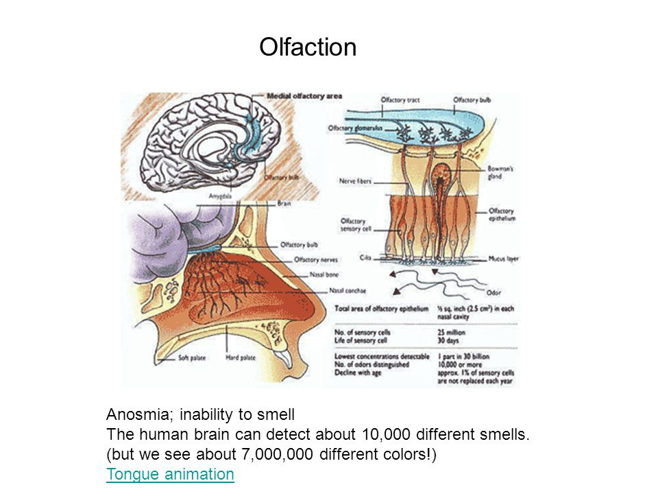 Olfaction Anosmia; inability to smell