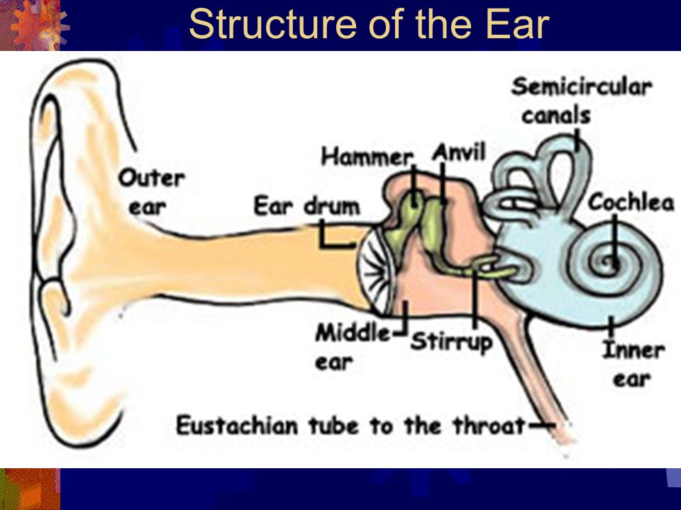 outter ear diagram the inner ear – structure and function - ppt video online ... ear diagram powerpoint