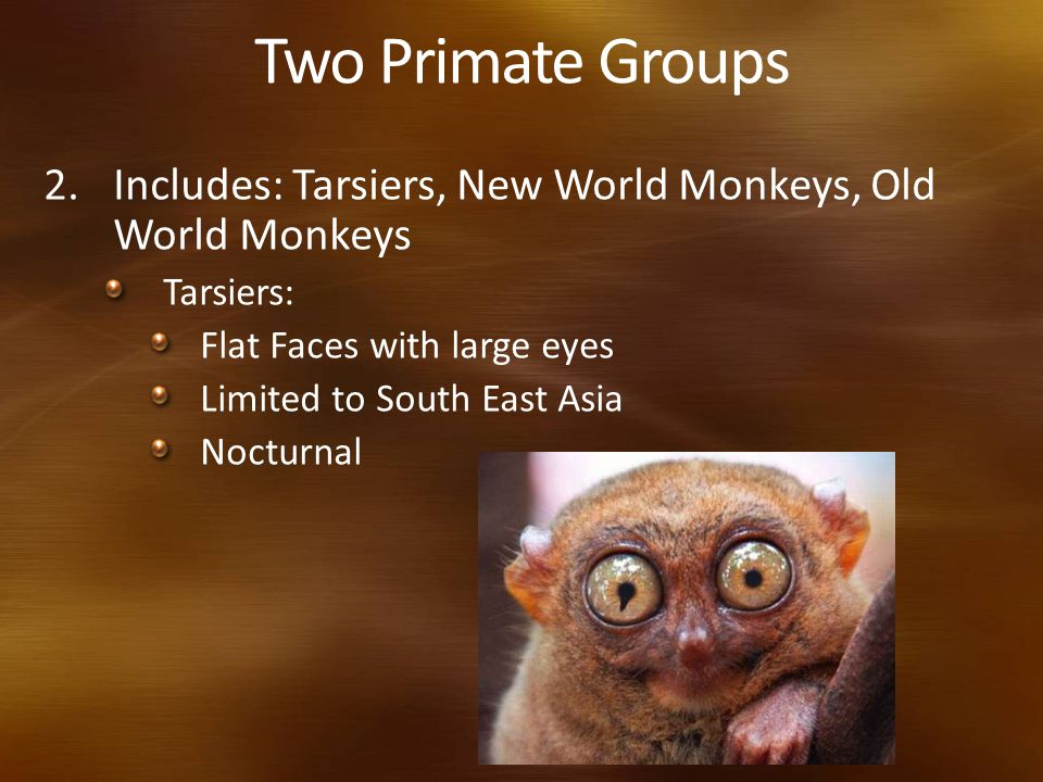 Two Primate Groups Includes: Tarsiers, New World Monkeys, Old World Monkeys. Tarsiers: Flat Faces with large eyes.