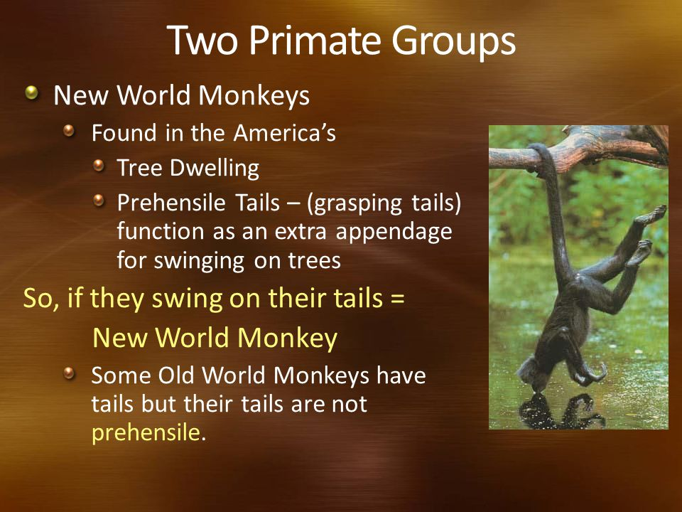 Two Primate Groups New World Monkeys