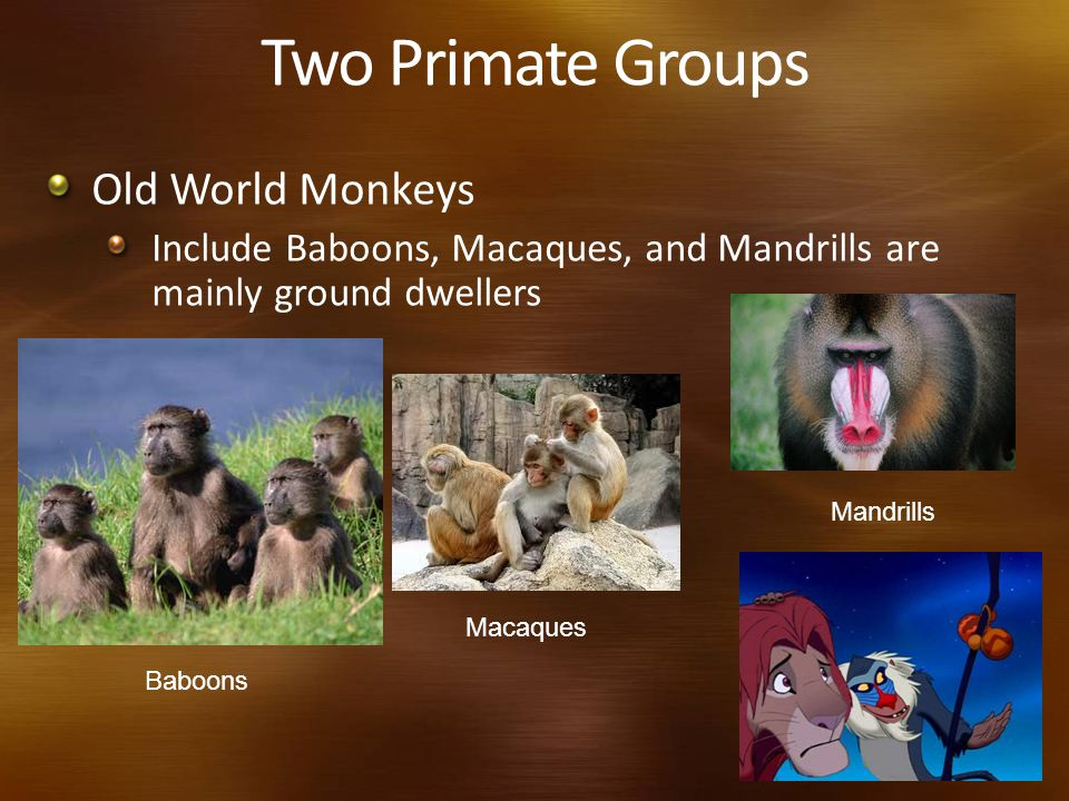 Two Primate Groups Old World Monkeys