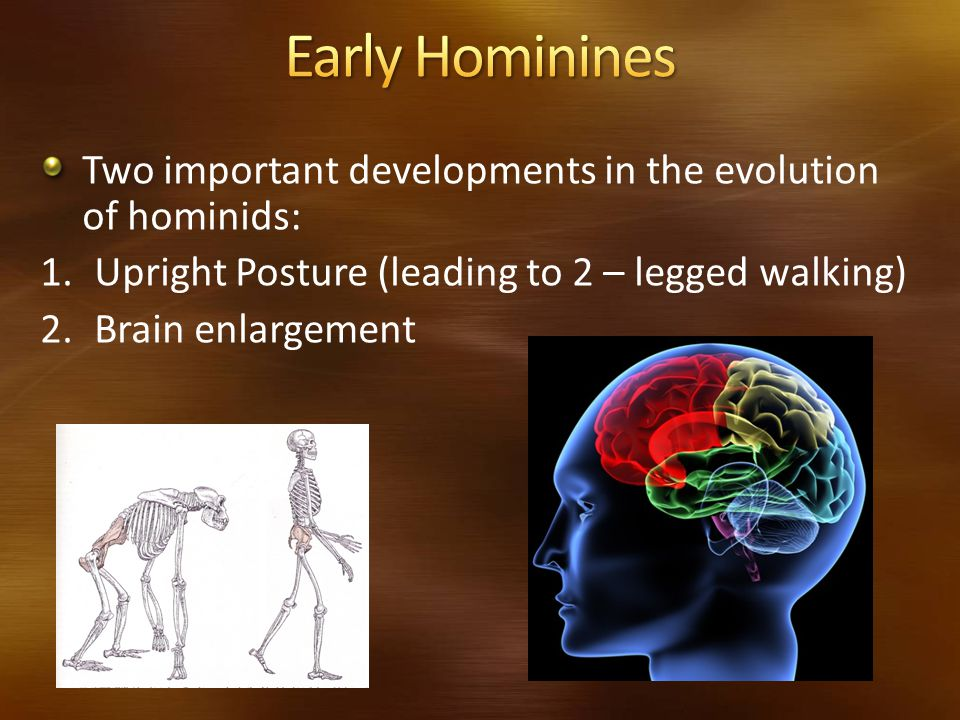 Early Hominines Two important developments in the evolution of hominids: Upright Posture (leading to 2 – legged walking)