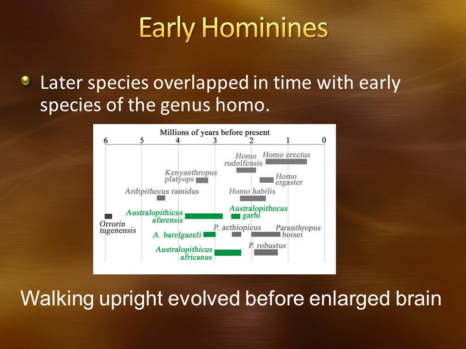 Early Hominines Later species overlapped in time with early species of the genus homo.