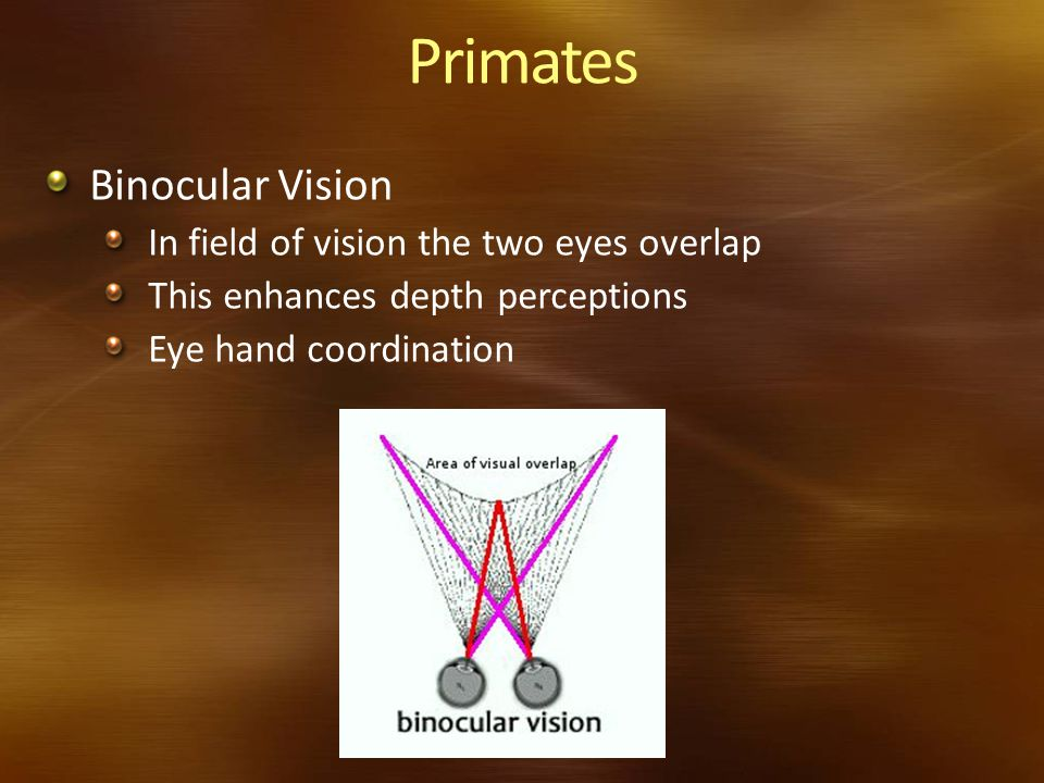 Primates Binocular Vision In field of vision the two eyes overlap
