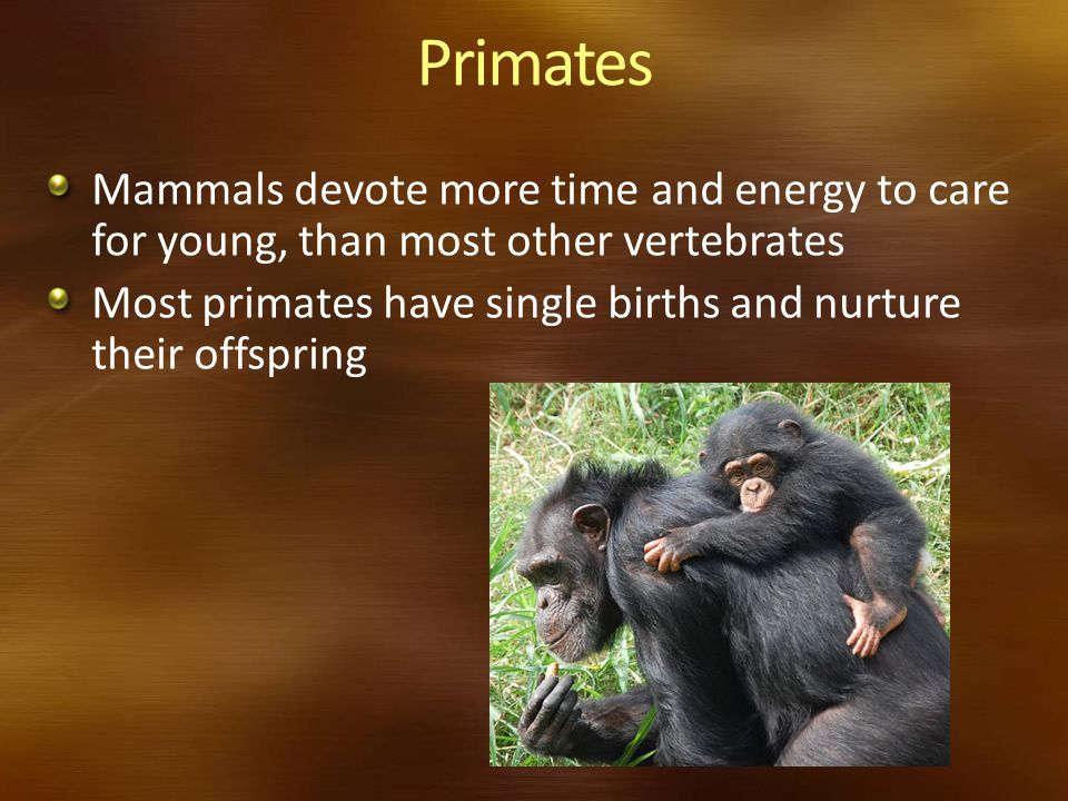Primates Mammals devote more time and energy to care for young, than most other vertebrates.