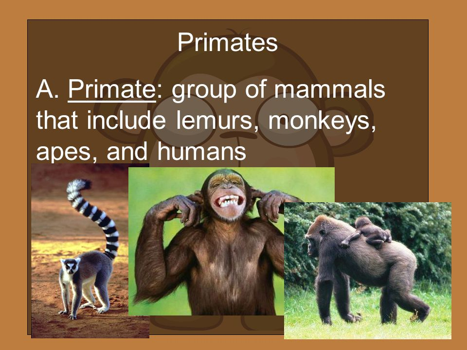 Primates A. Primate: group of mammals that include lemurs, monkeys, apes, and humans