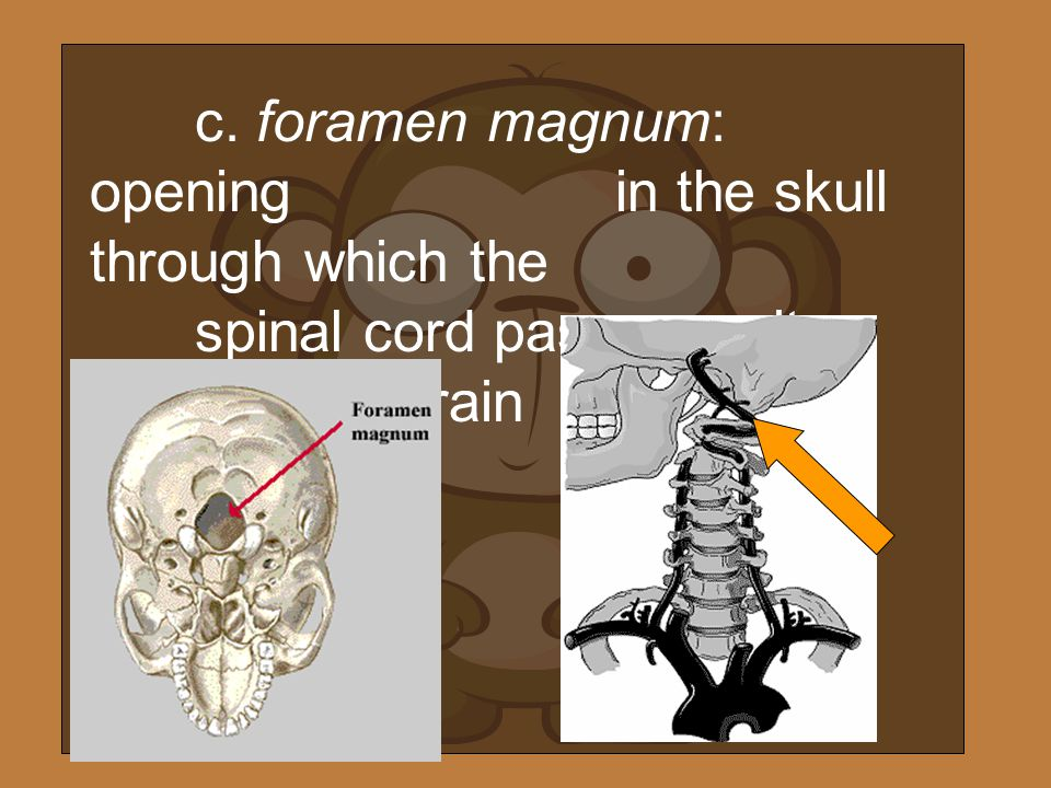 c. foramen magnum: opening. in the skull through which the