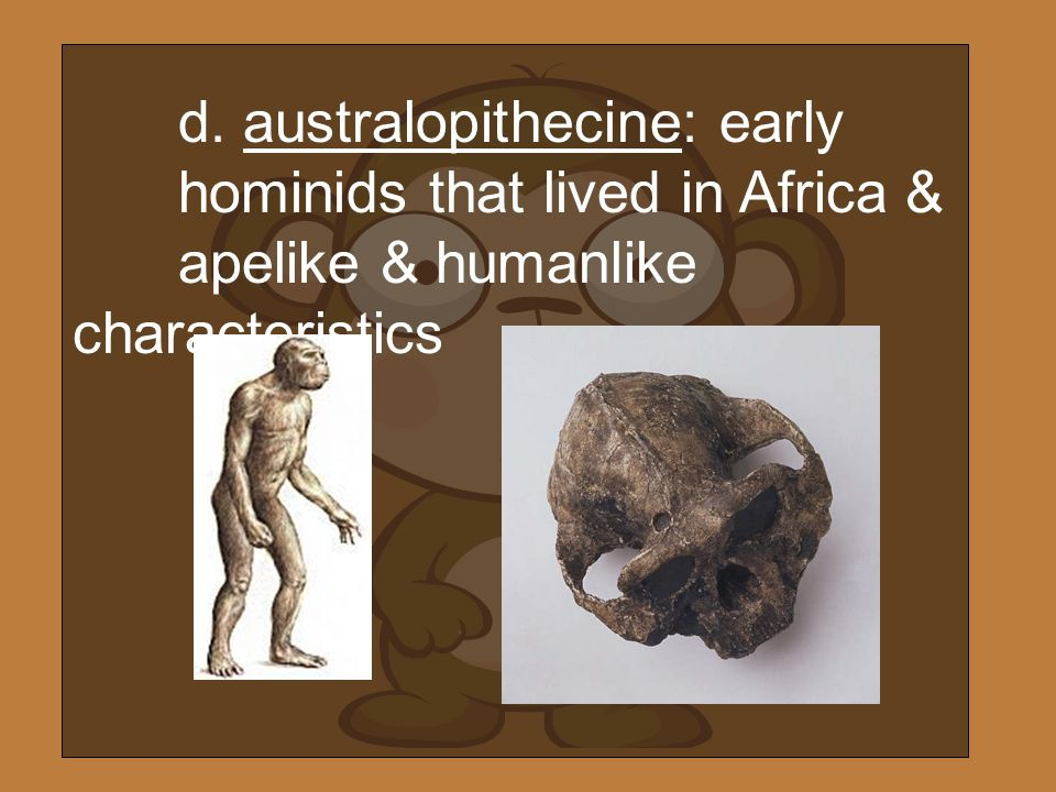 d. australopithecine: early. hominids that lived in Africa &