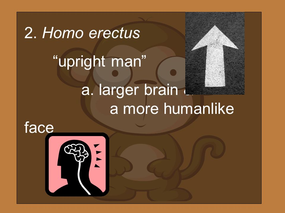 2. Homo erectus upright man a. larger brain & a more humanlike face