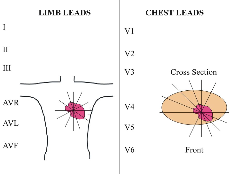So the limb leads look at the heart along the chest wall and the chest leads look at the heart in cross section.