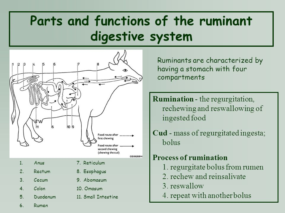 diagram of digestive system of a goat image collections. Black Bedroom Furniture Sets. Home Design Ideas