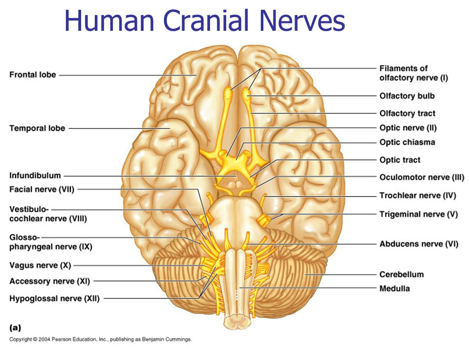Anatomy cranial nerves 3188742 - follow4more.info