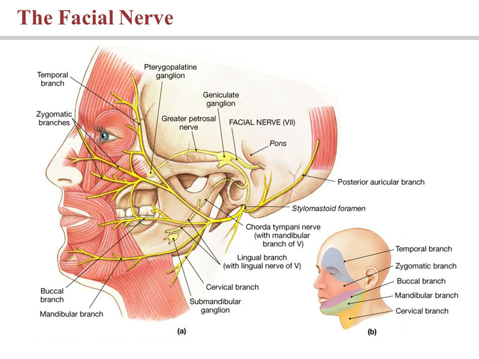 The Facial Nerve PLAY