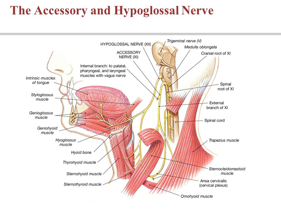 The Accessory and Hypoglossal Nerve